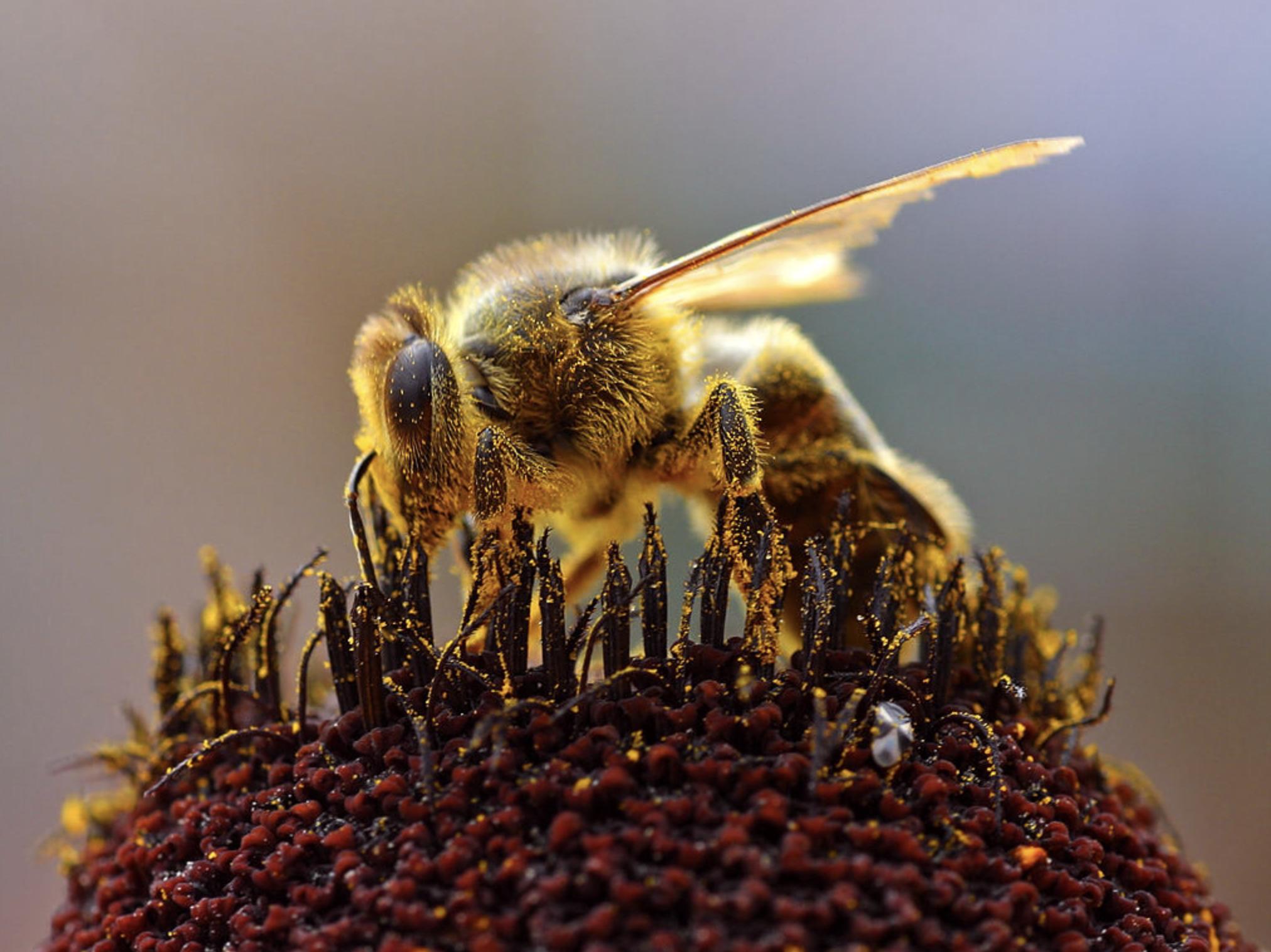 Independent: Meio bilhão de abelhas morreram no Brasil em três meses